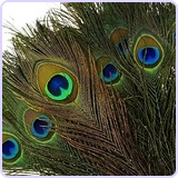 Real Natural Peacock Feathers, 100 Pack