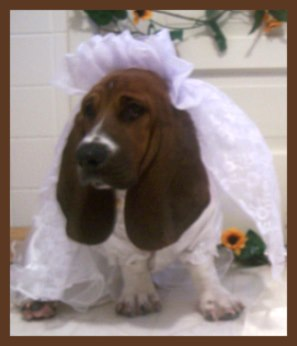 Dog dressed as a bride