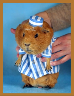 Guinea pig in costume